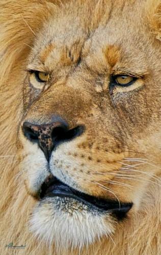 عکس از شیر سلطان جنگل ناب