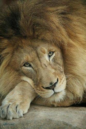 عکس های شیر سلطان جنگل متفاوت