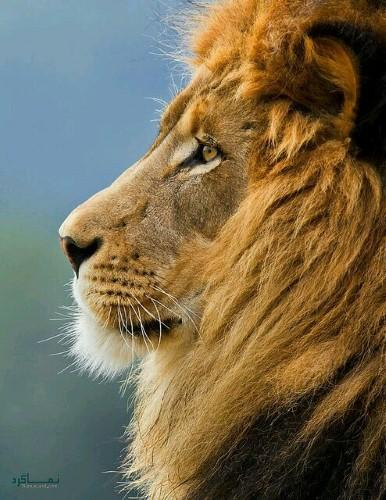 عکس های شیر سلطان جنگل شیک