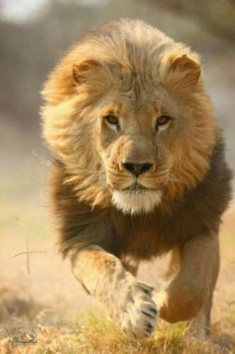 عکس از شیر سلطان جنگل جذاب