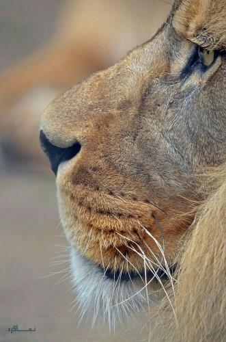 عکس شیر سلطان جنگل ناب