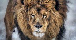 عکس از شیر سلطان جنگل+ عکس های شیر جذاب ناب (۳)