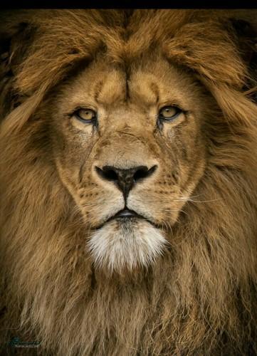عکس از شیر سلطان جنگل جدید