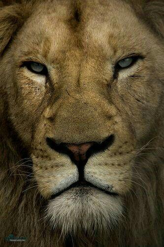 عکس های شیر سلطان جنگل قشنگ