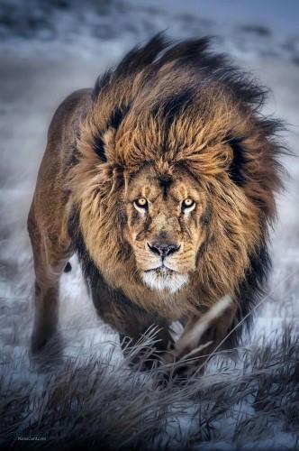 عکس های شیر سلطان جنگل جدید