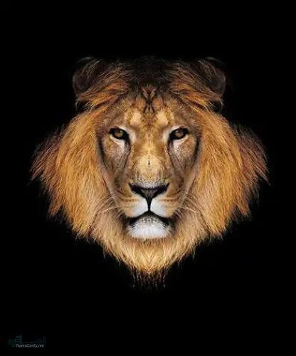 عکس های شیر سلطان جنگل باکلاس