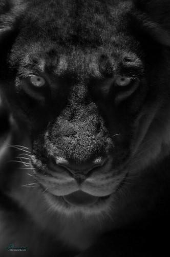 عکس شیر سلطان جنگل خاص