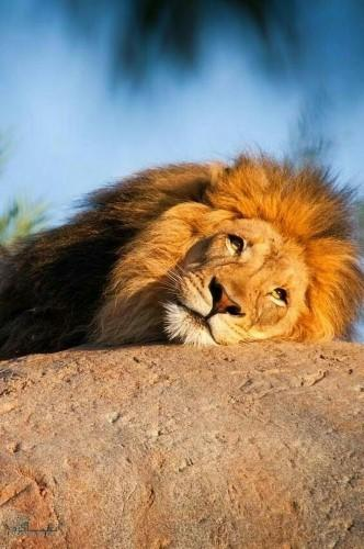 عکس از شیر سلطان جنگل متفاوت