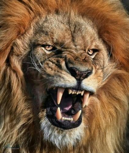 عکس های شیر سلطان جنگل خاص