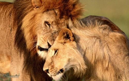 عکس های شیر سلطان جنگل جذاب