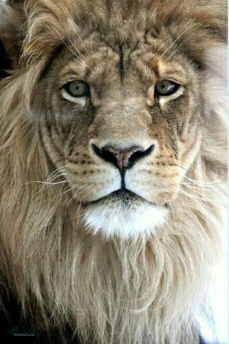 عکس شیر سلطان جنگل