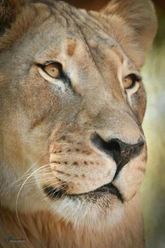 عکس از شیر سلطان جنگل