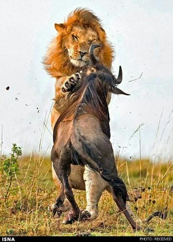 عکس های زیبا شیر سلطان جنگل