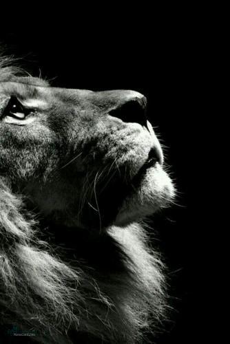 عکس های شیر سلطان جنگل