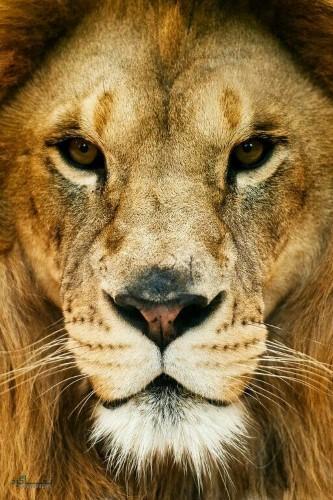 عکس هایی از شیر سلطان جنگل