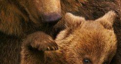 دانلود رایگان دوبله فارسی مستند دیدنی خرس ها Bears 2014